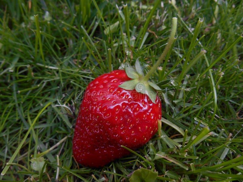 在草,关闭的草莓 库存图片