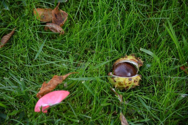 在草,特写镜头的成熟栗子果子 库存图片