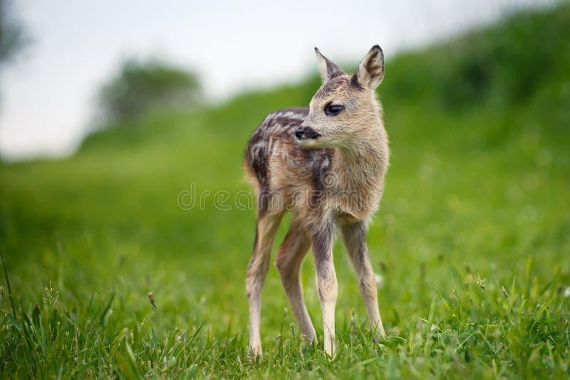在草,狍属狍属的幼小野生狍 新出生的獐鹿 免版税库存照片