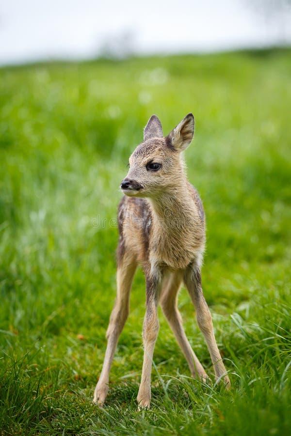在草,狍属狍属的幼小野生狍 新出生的獐鹿 免版税库存图片