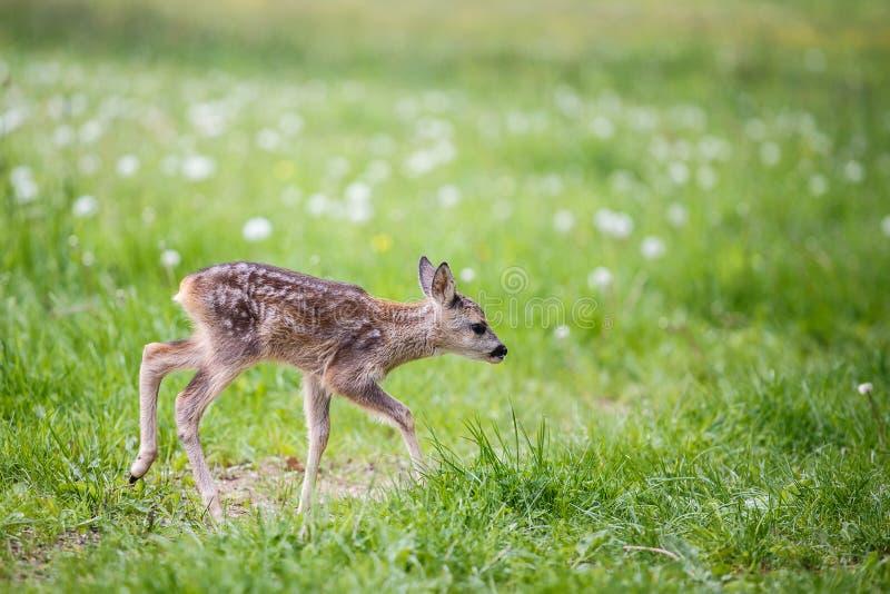 在草,狍属狍属的幼小野生狍 图库摄影