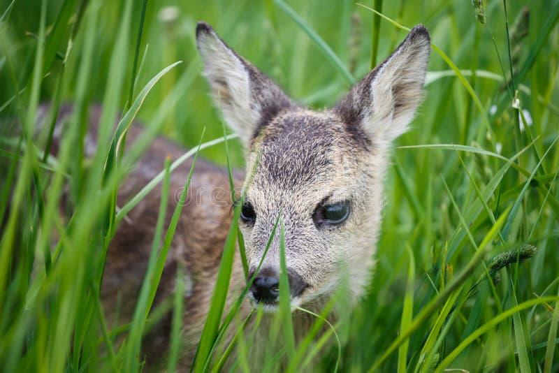 在草,狍属狍属的幼小野生狍 库存图片