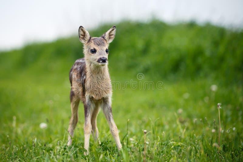 在草,狍属狍属的幼小野生狍 免版税图库摄影