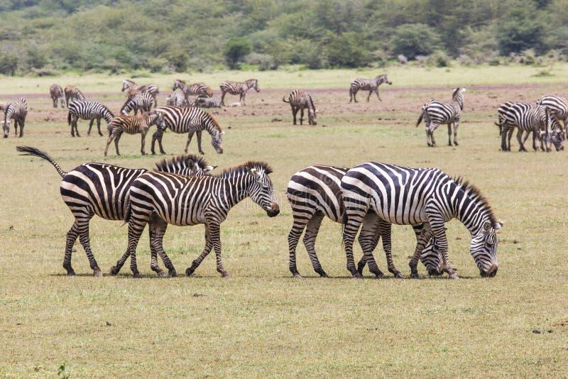 在草(马塞语玛拉的斑马;肯尼亚) 库存图片