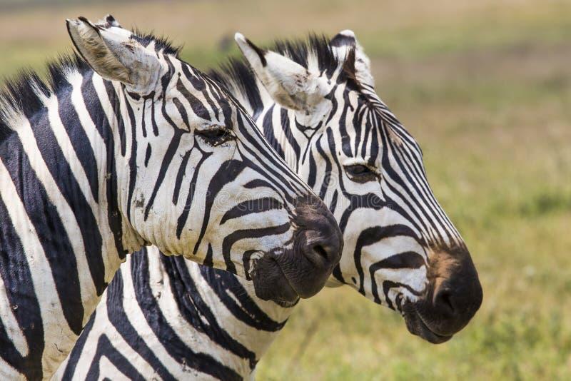 在草(马塞语玛拉的斑马;肯尼亚) 免版税库存图片