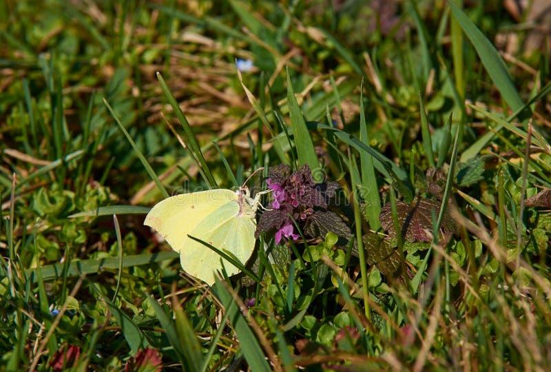在荨麻花的黄色蝴蝶在绿草 明亮和晴天 免版税库存照片