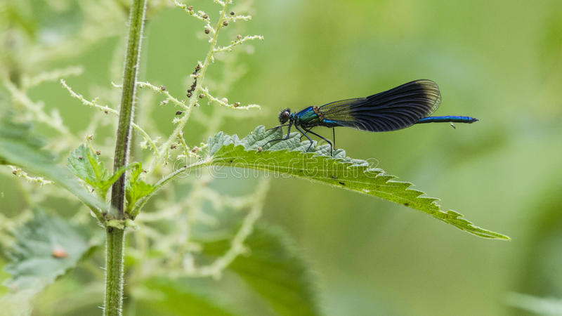 在荨麻的蜻蜓 库存图片