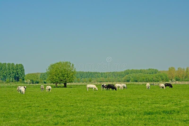 在荷兰开拓地风景的有机母牛 免版税图库摄影