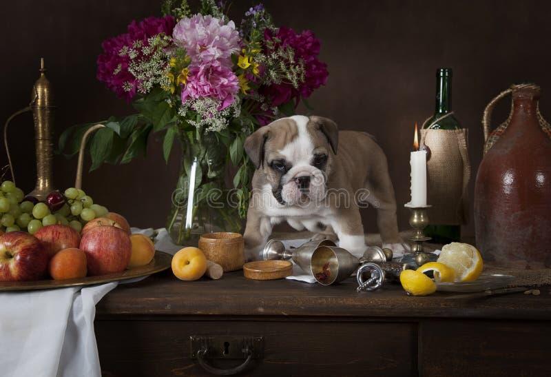 在荷兰样式的英国牛头犬小狗 库存图片