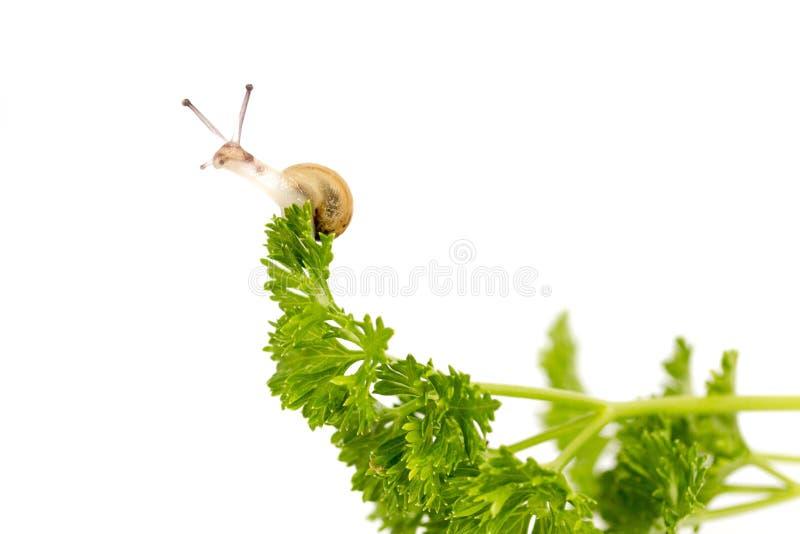 在荷兰芹的微小的蜗牛 图库摄影