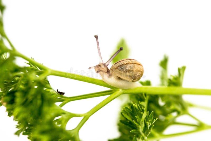 在荷兰芹的微小的蜗牛 库存图片