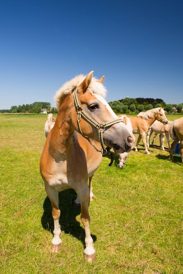 在荷兰风景的幼小马 免版税库存照片