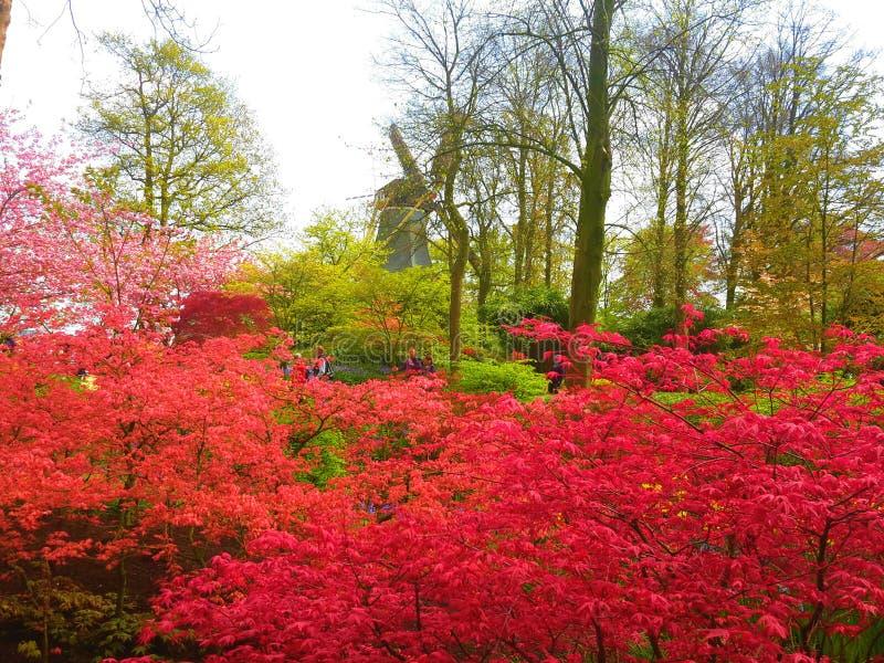 在荷兰风车前面的红色花灌木在Keukenhof 图库摄影