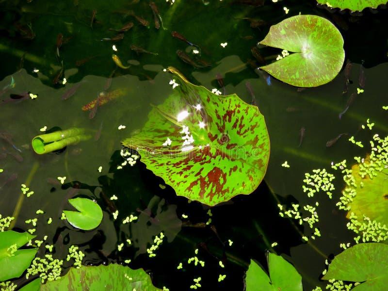 在荷花池-鱼色彩艳丽的胎生小鱼 免版税库存照片