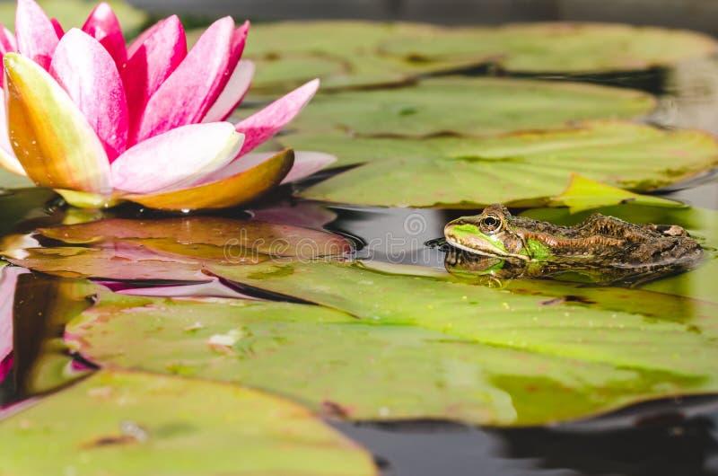 在荷花的叶子的青蛙在百合花附近的一个池塘 r 库存图片