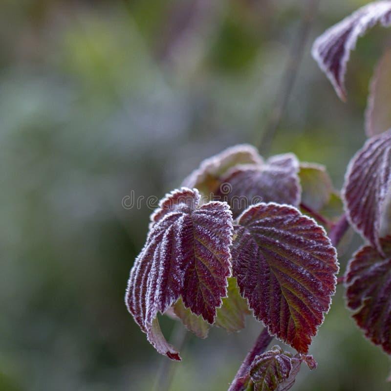 在莓叶子的树冰 秋天 关闭 库存图片
