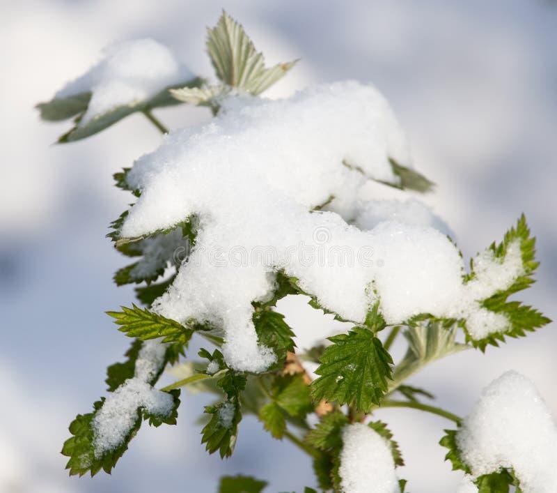 在莓板簧的雪 免版税图库摄影