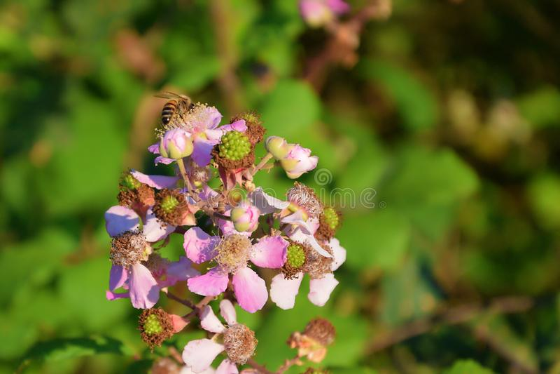 在莓花的蜂 免版税库存照片