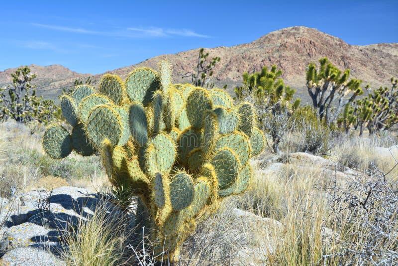 在莫哈韦沙漠的仙人掌和约书亚树 库存图片