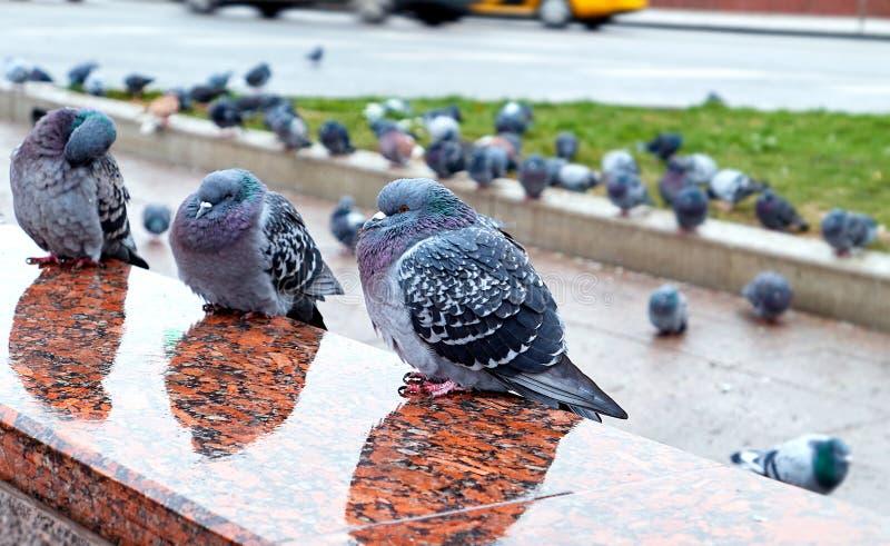 在莫斯科与多雨反射的地铁入口湿花岗岩的困野生城市鸽子  库存照片
