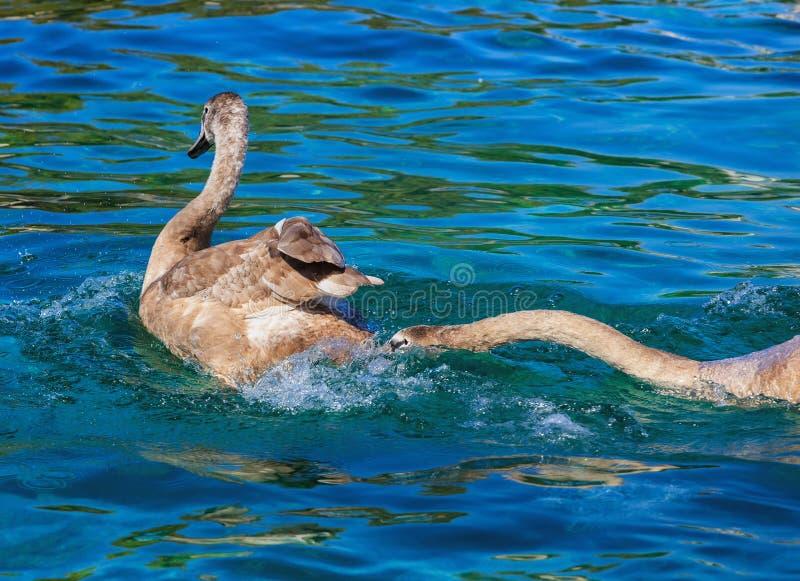 在莱芒湖的幼小天鹅在瑞士 库存照片