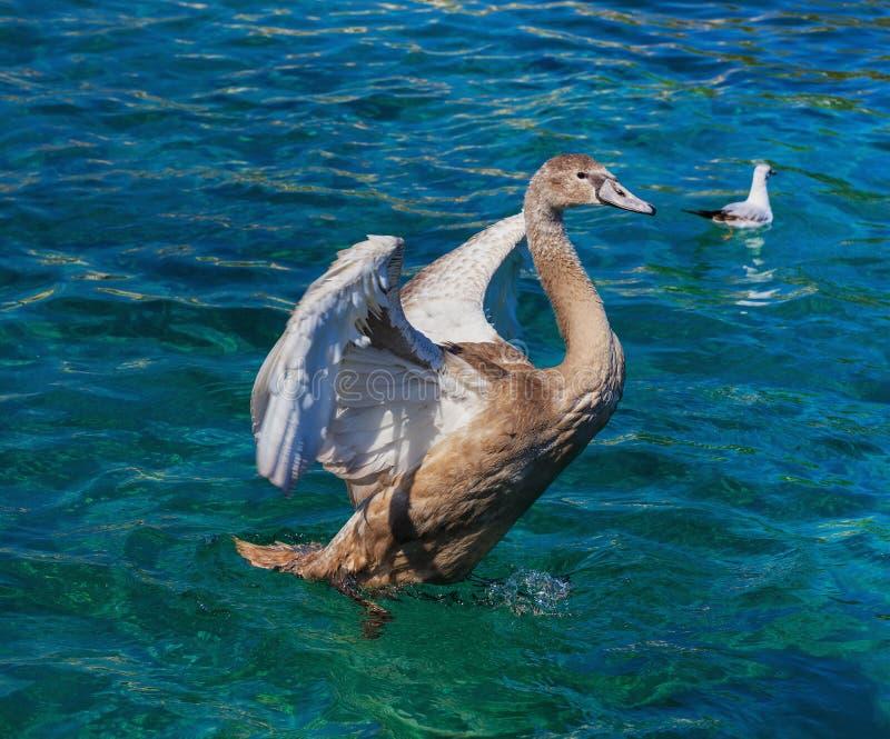在莱芒湖的幼小天鹅 库存照片