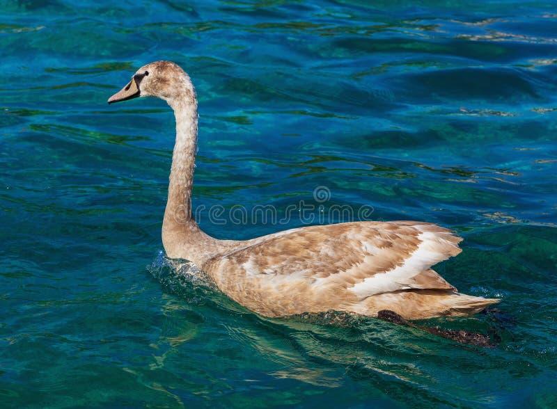 在莱芒湖的幼小天鹅 免版税库存图片