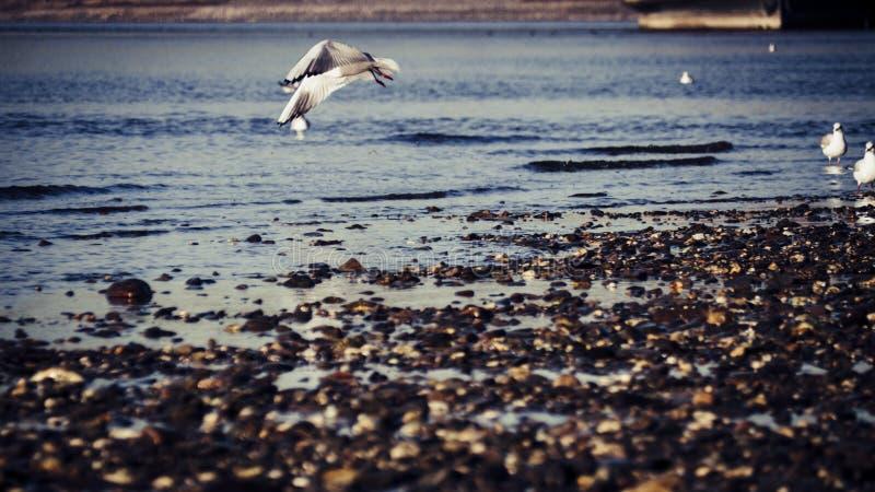 在莱茵河上的海鸥飞行在一好日子在秋天 库存图片