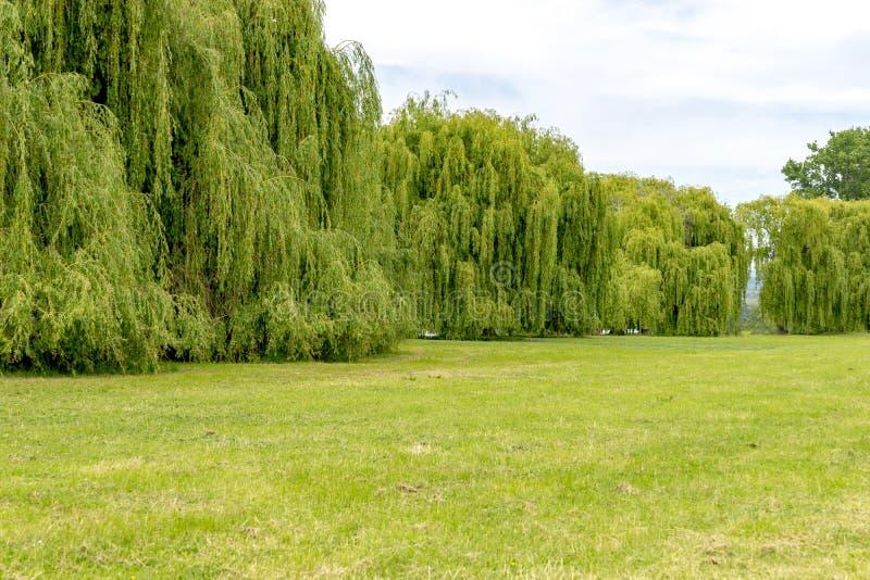 在莱茵河在有银色柳树大墙壁的德国  免版税库存照片
