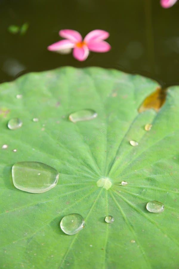水滴在莲花叶子的。 图库摄影
