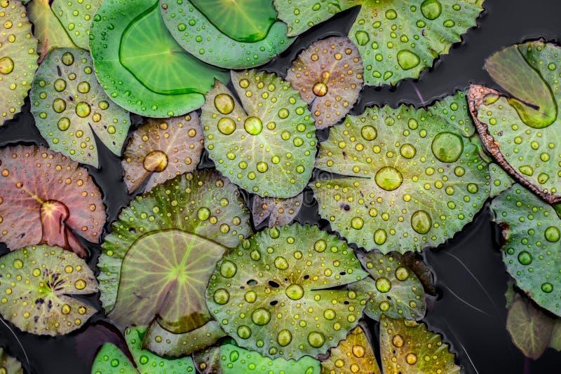在莲花叶子的水下落 图库摄影