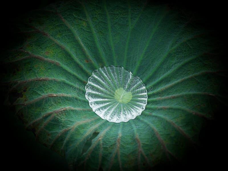 在莲花叶子的水下落 免版税图库摄影