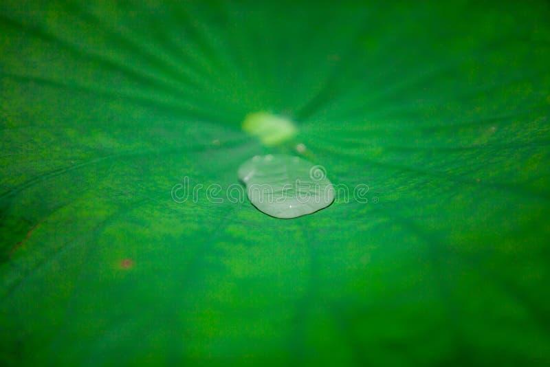 在莲花叶子的水 库存图片
