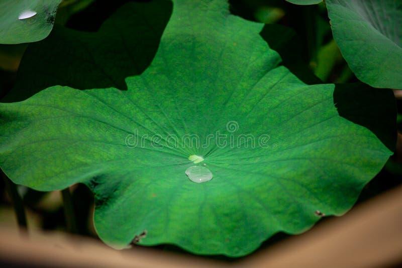 在莲花叶子的水 免版税库存图片