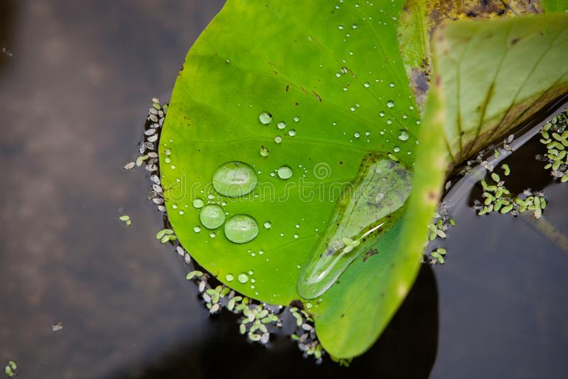 在莲花叶子的水 免版税库存照片
