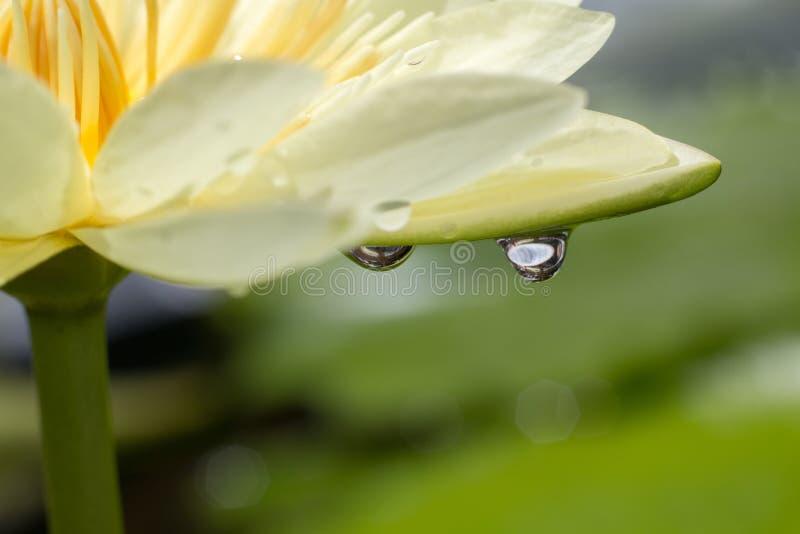 在莲花叶子迷离背景的下落水,特写镜头下落水和黄色莲花精选的焦点 免版税图库摄影