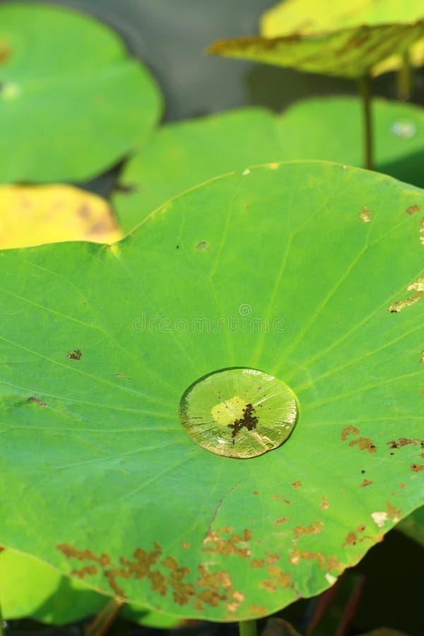 水滴在莲花的生叶,自然本底 免版税库存照片