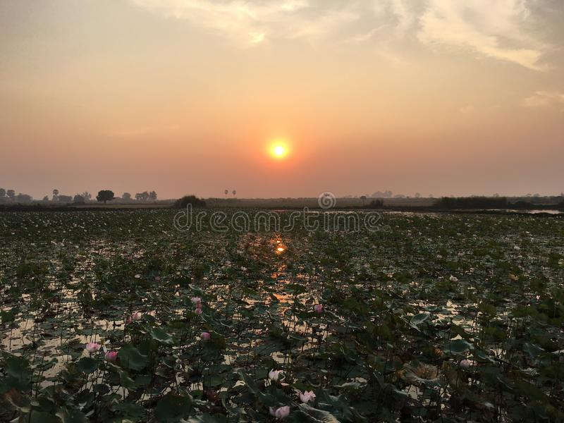在莲花领域的日出 库存图片