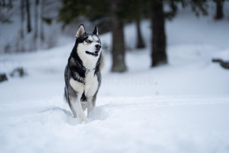 在获得的雪的多壳的狗乐趣 库存图片