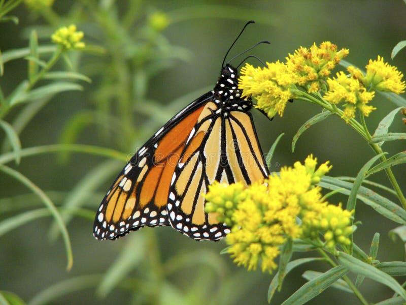 在菊科植物的黑脉金斑蝶 免版税库存图片