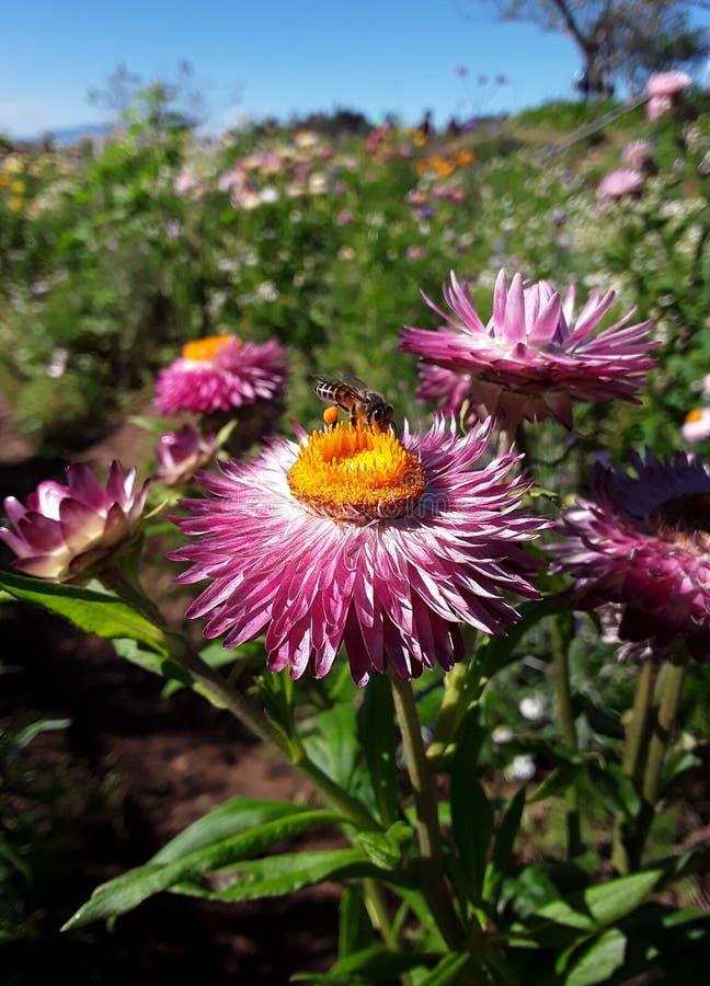 在菊花花的工作的蜂 图库摄影