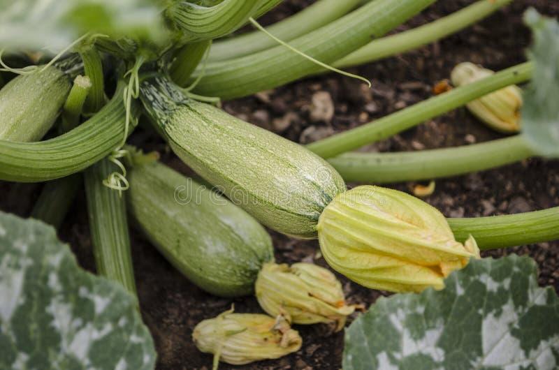 在菜园的家种的有机南瓜 免版税库存图片