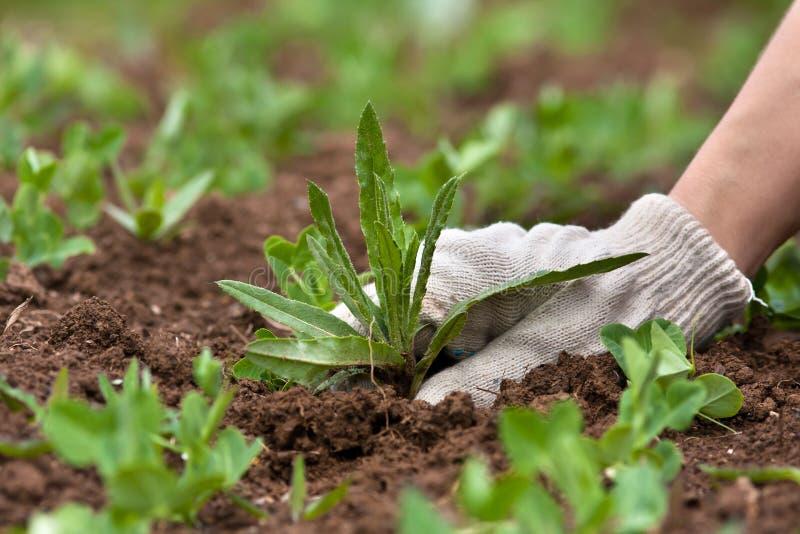 在菜园里递除草,特写镜头 免版税库存照片