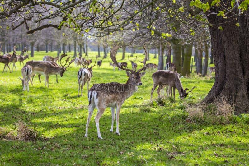 在菲尼斯公园察觉的鹿,都伯林 免版税库存图片