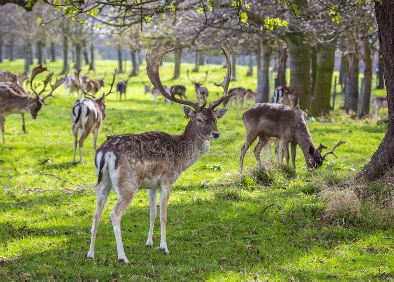 在菲尼斯公园察觉的鹿,都伯林 免版税图库摄影