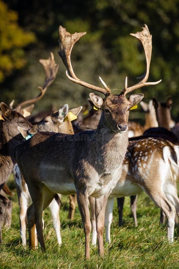 在菲尼斯公园的鹿 都伯林 爱尔兰 库存照片