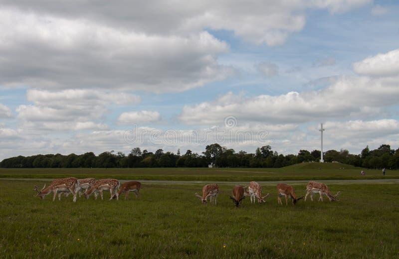 在菲尼斯公园的鹿 免版税库存照片