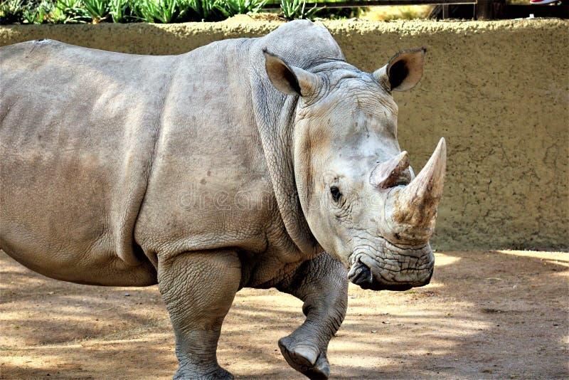 在菲尼斯动物园的犀牛,菲尼斯,亚利桑那美国 免版税图库摄影