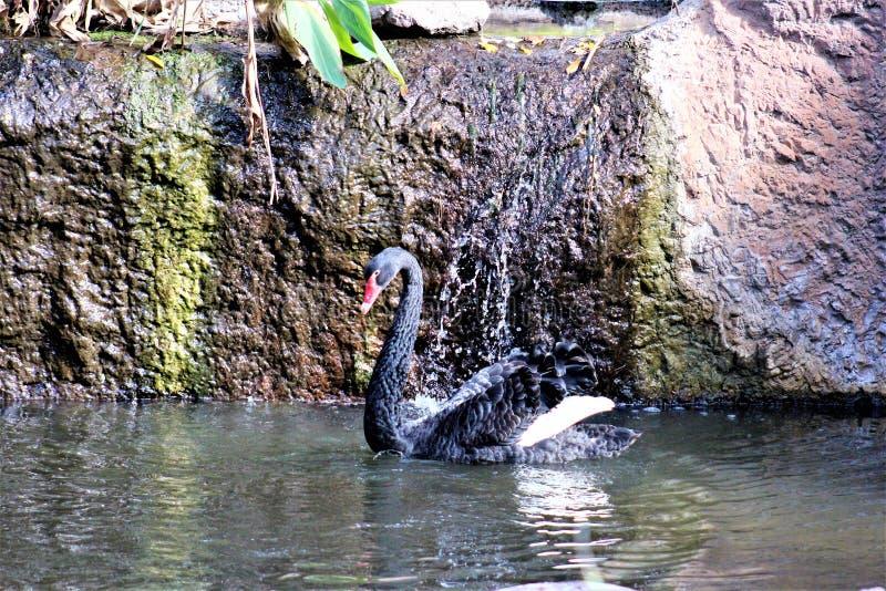 在菲尼斯动物园的黑天鹅在菲尼斯,亚利桑那在美国 免版税库存照片