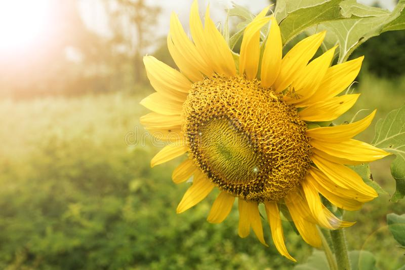 在落日的光芒由后照的领域的金黄向日葵 库存照片